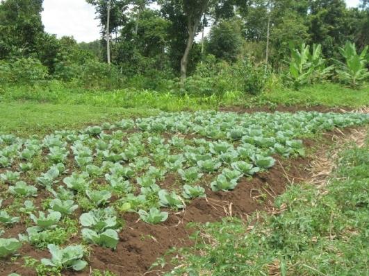Backyard Cash Crops family farms in uganda - the backyard gardener - anr blogs