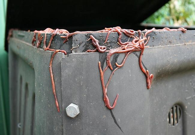 Eisenia fetida on compost bin. (Toby Hudson)