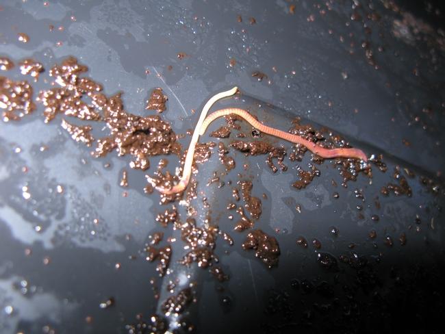 The Correct sort of worms: Eisenia fetida