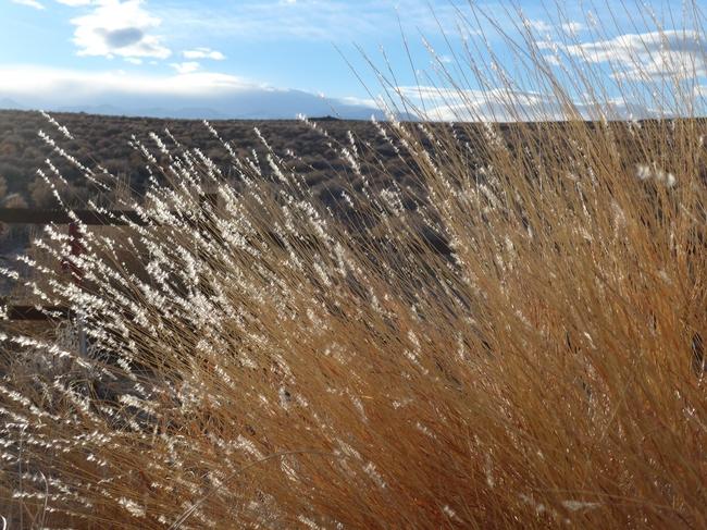 Silver beardgrass for The Backyard Gardener Blog
