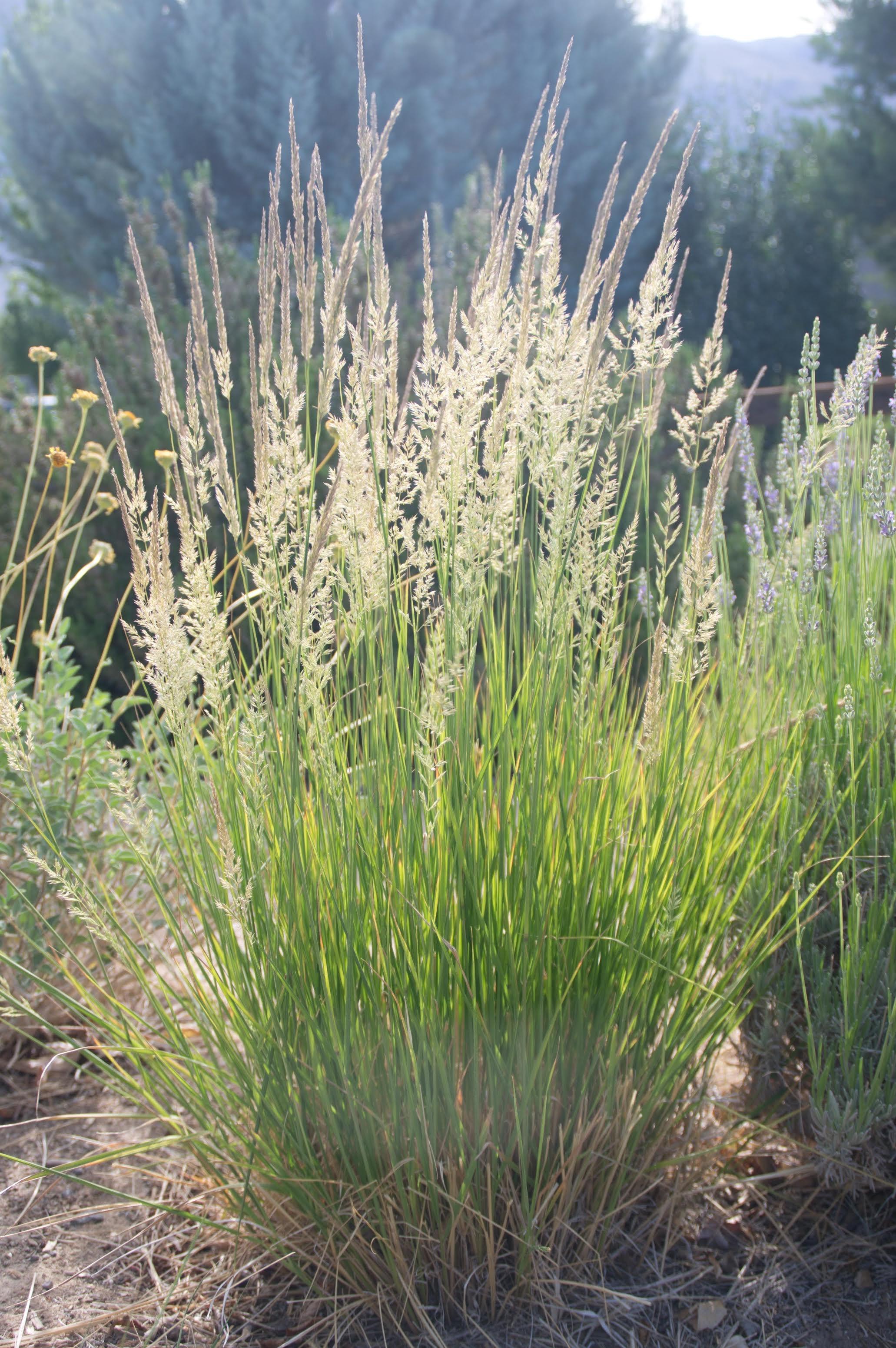 Ornamental Grasses Part 2 The Backyard Gardener ANR Blogs