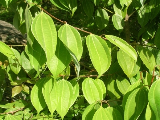 Cinnamon foliage