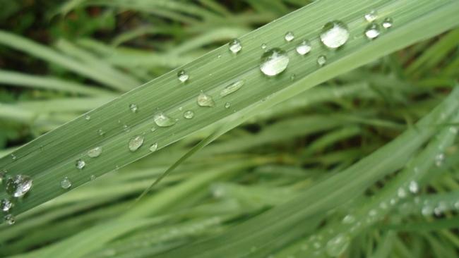 Cymbopobon (Lemongrass)