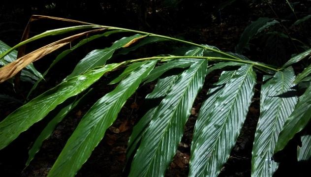 cardamon foliage