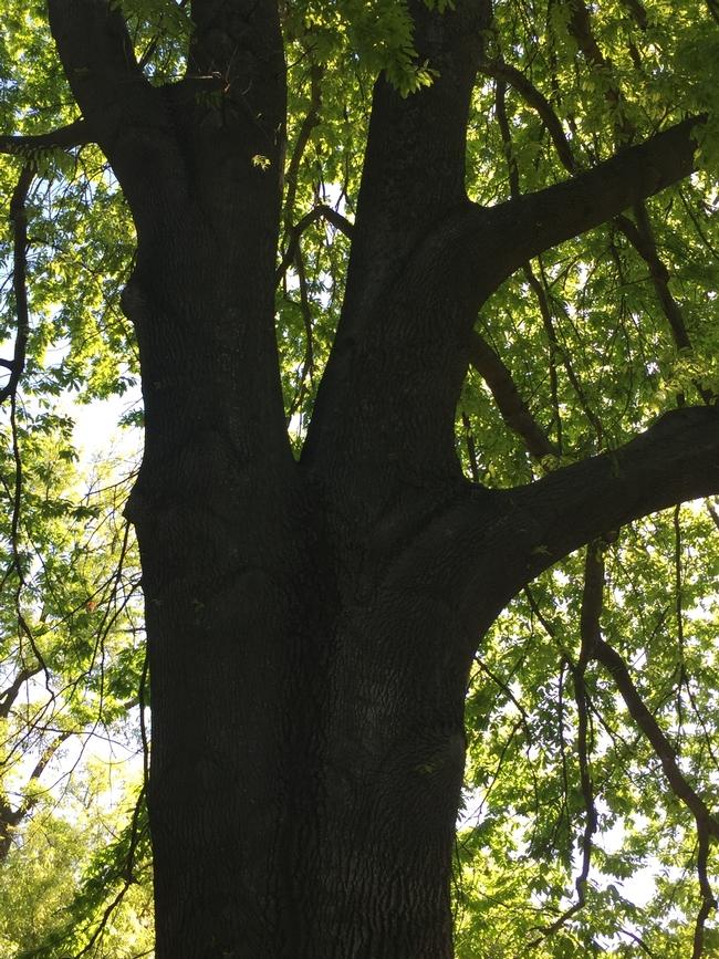 Persian oak