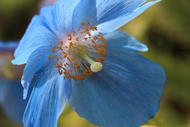 Himalayan Blue Poppy  Photo: TANAKA Juuyoh for The Backyard Gardener Blog