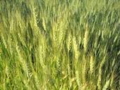 'Glenn' hard red spring wheat in the garden.