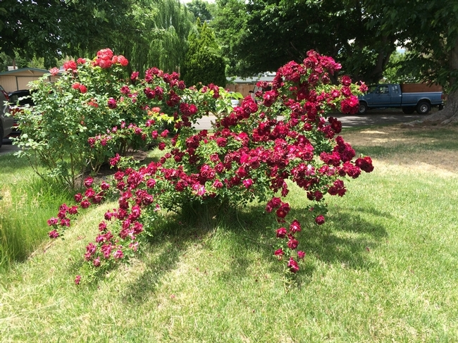 'Dr. Huey' Rambler Rose