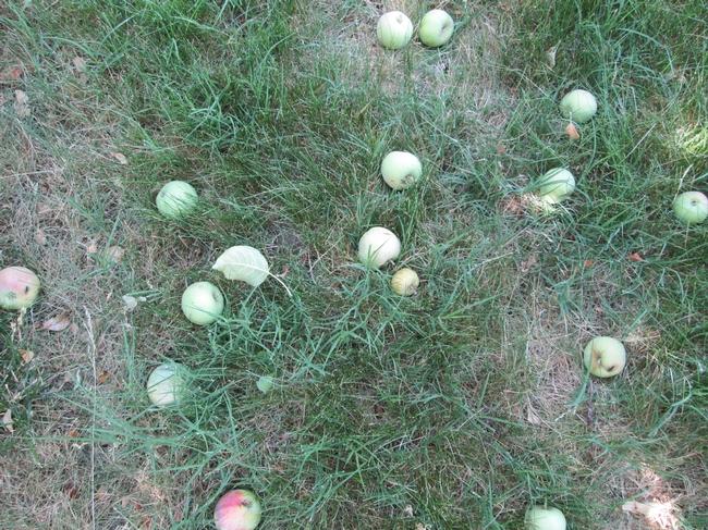 Late June Drop of Gravenstein Apples. for The Backyard Gardener Blog