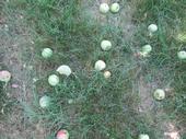 Late June Drop of Gravenstein Apples.