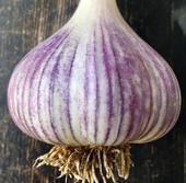 Mature Garlic Bulb