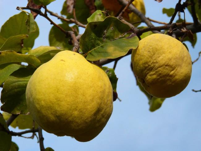 Quince Fruit for The Backyard Gardener Blog