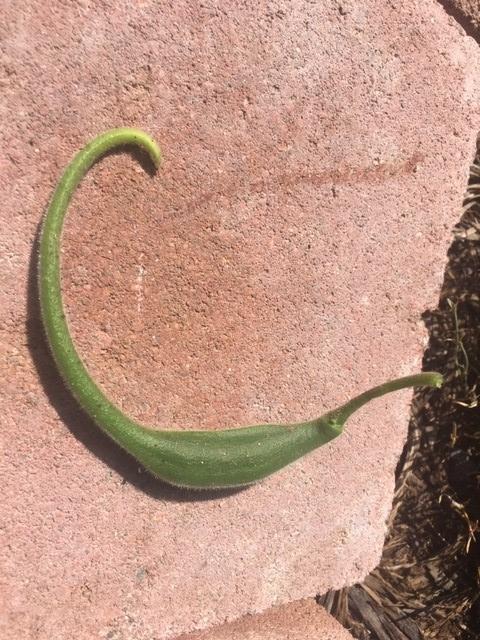 Immature Pod for The Backyard Gardener Blog