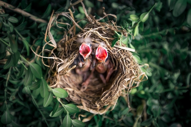 Baby birds in nest with mouths open.