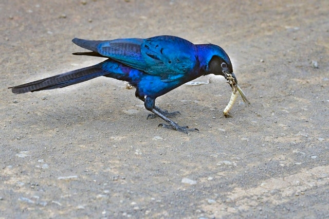 Blue bird eating an insect