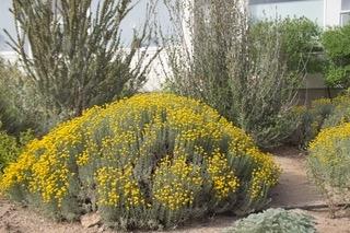 Santolina blooming
