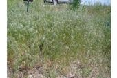 Bromus tectorum patch, Photo by USDA