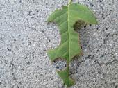 Leaf cutter damage on rose leaf.