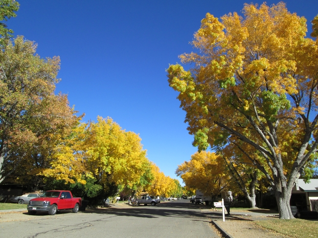 Tree-lined streets have a cooling effect. for The Backyard Gardener Blog