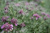 Teucrium cossonni majoricum.  Photo:Native Sun Nursery