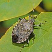 479px-Pentatomidae - Halyomorpha halys-001