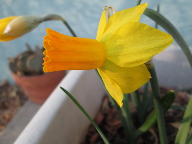 Jetfire Cyclamineus Narcissus