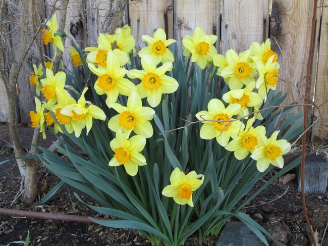 Mature clump of daffodils against a west-facing fence.