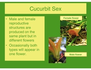 Cucurbit sex -  Male flowers now not necessary!