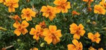 Closeup of 'Tangerine Gem' blossoms. for The Backyard Gardener Blog