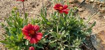 Gaillardia and Santolina for The Backyard Gardener Blog