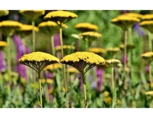 Yellow Yarrow Photo: Pixaby