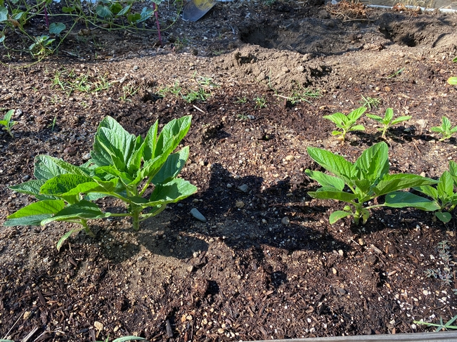 Small sesame plants in early July