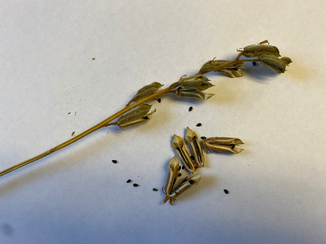 Dried capsules and seeds.