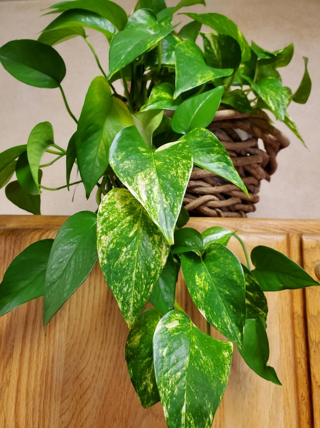 A golden pothos houseplant with leaves draping down a wood cabinet.