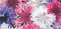 'Bachelor Button Mix' from seed catalog for The Backyard Gardener Blog