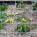 Straw mulch retains moisture