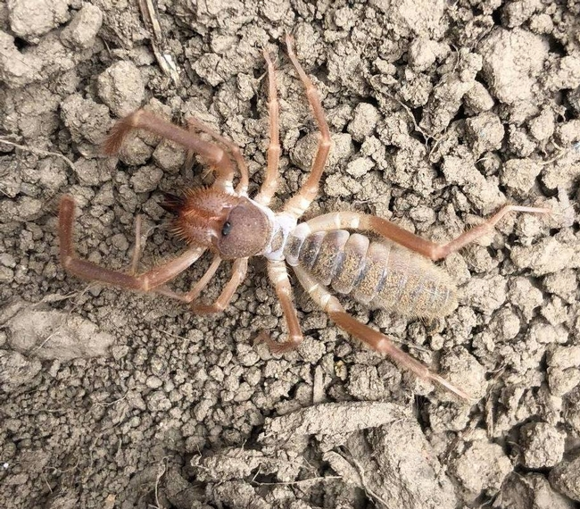 Newly discovered under our coverboards , these aggressive arachnids act just like scorpions but are in fact spiders known as windscorpions. Order: Solifugae