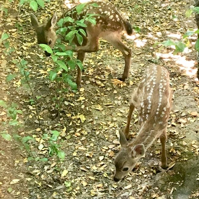 Twin Columbian black-tailed deer