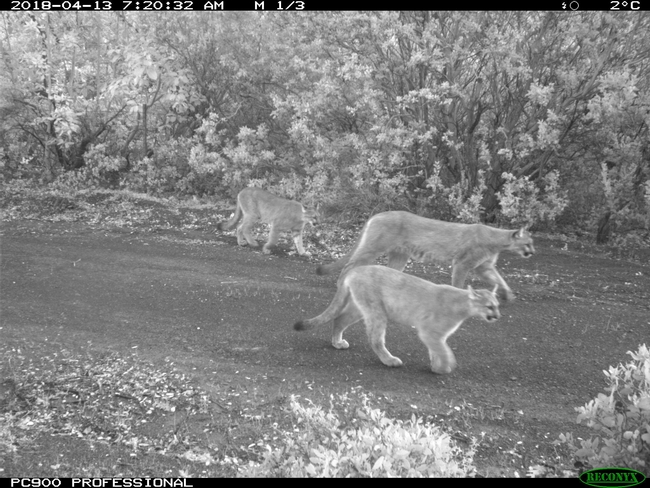 Hopland Research and Extension Center resident mountain lions