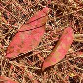 Fire retardent on California Laurel (Umbellularia californica) leaves