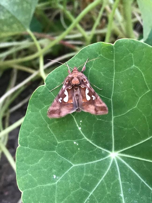 Lauren's moth.
