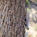 cambarrows lizard