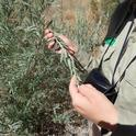 A naturalist from the Hopland CCC course holds a willow branch