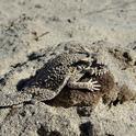 Flat-tailed horned lizard (Phrynosoma mcallii ) sunning on a rock