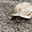 Desert tortoises do not live centuries, but they might live as long as we humans do.