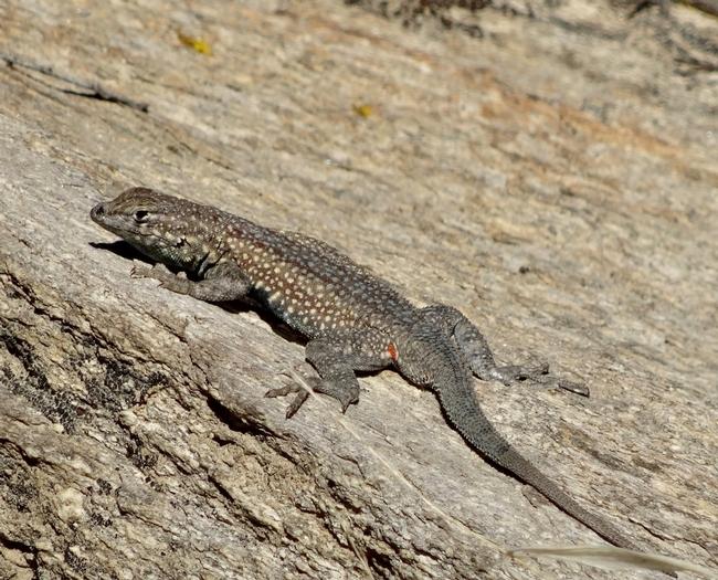 A side-blotched lizard.