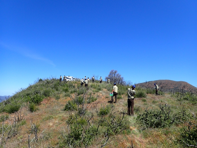 A group of people on a steep slope in the chaparral that burned two years ago.