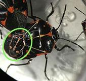 Bagrada bug (circled in green) on harlequin bug.