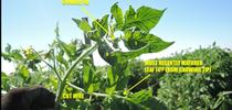 Tomato 4th leaf sample used to determine NPK (Photo credit: Patricia Lazicki) for Small and Organic Farm Advisor Blog