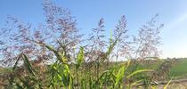 Johnsongrass, Sorghum halepense for Small and Organic Farm Advisor Blog